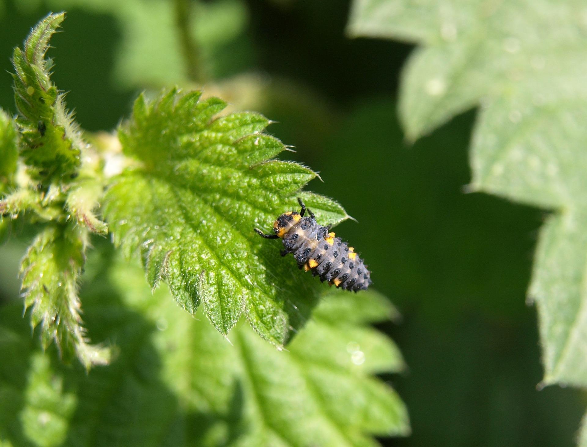 marienkafer-larva-360357_1920.jpg