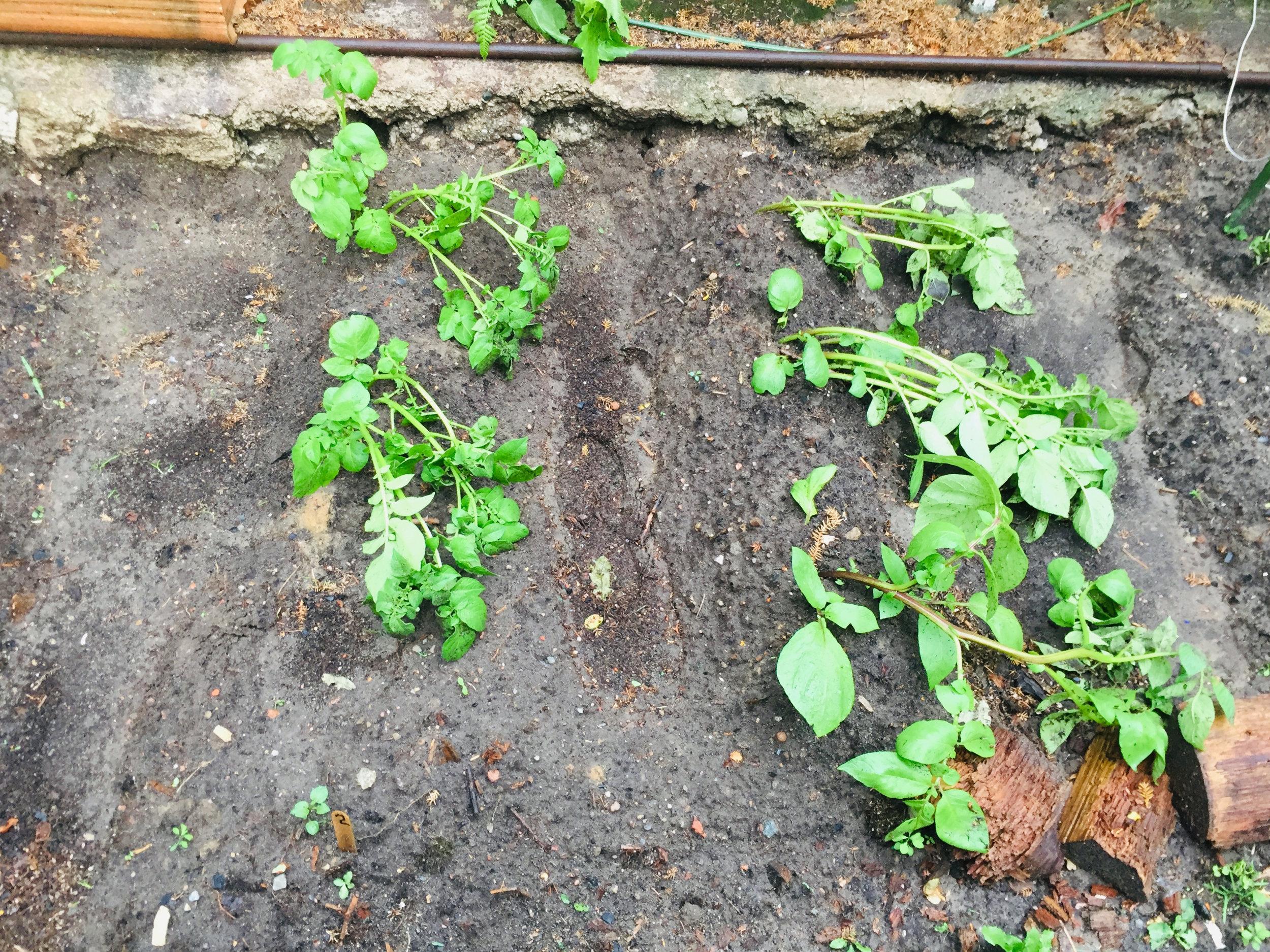 Die Kartoffelpflanzen liegen seit dem Starkregen alle auf dem Boden - in Fließrichtung