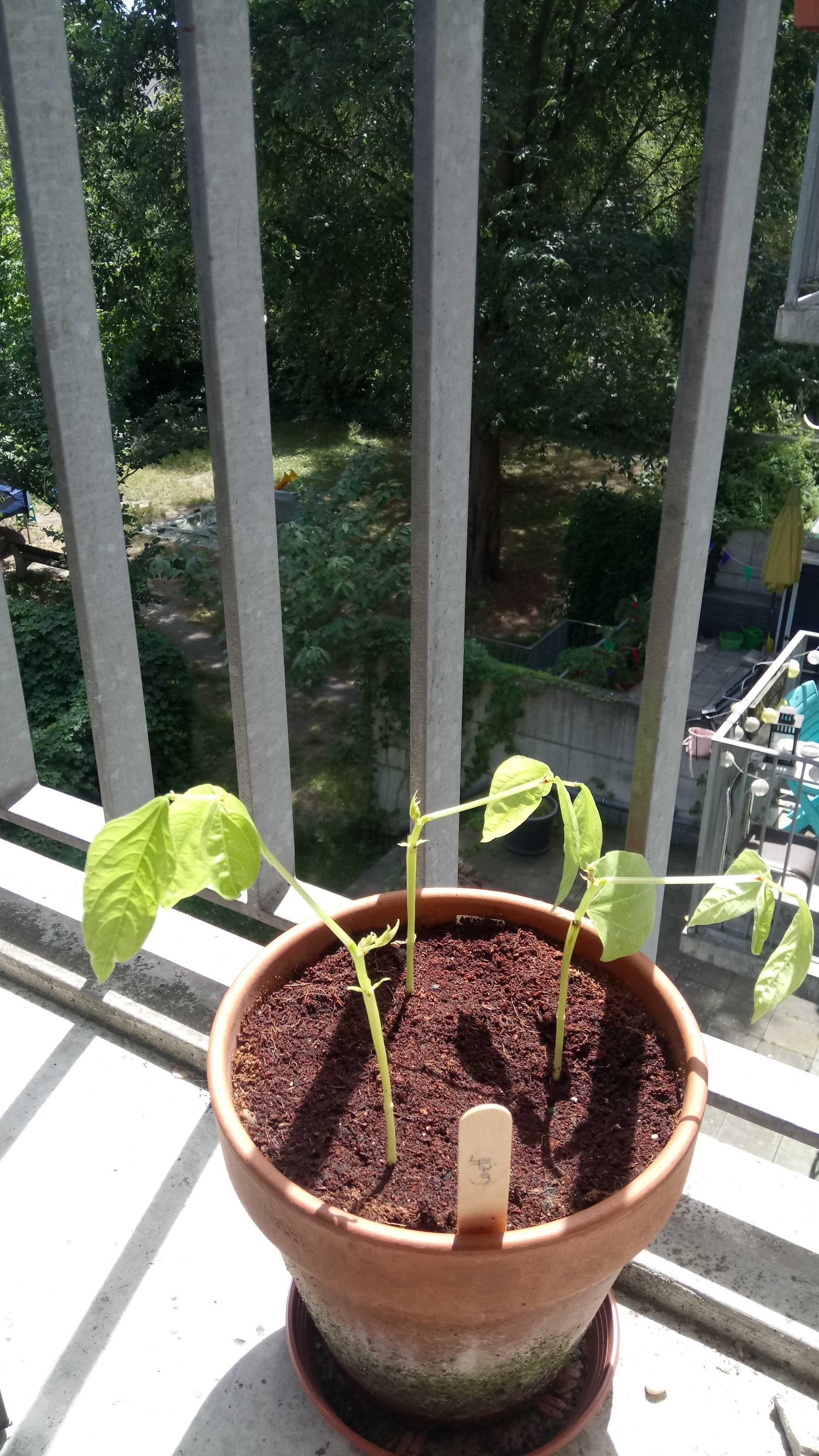 Die kleine Canetti, nachdem die befallenen Blätter (Minierfliege) abgenommen wurden