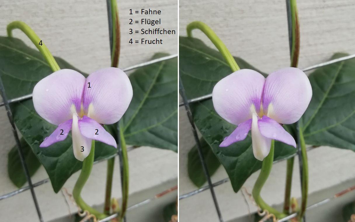 Canetti-Blüte-2.jpg