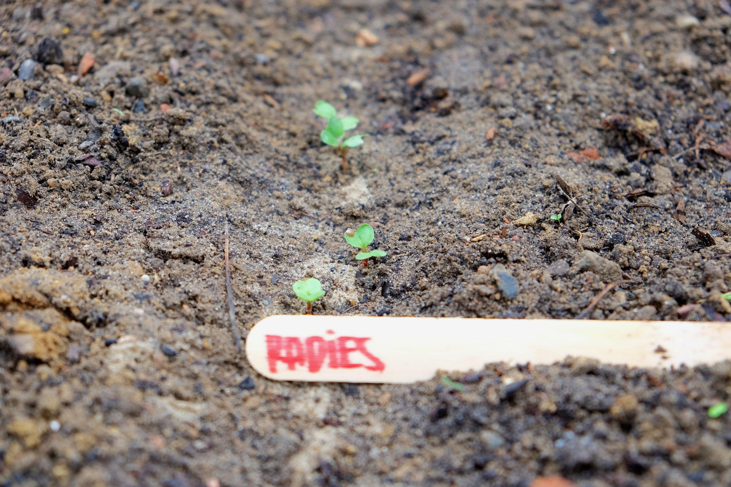 Woche 1 & 2 - Lass' das Radieschen-Beet in der ersten Woche ruhen. Erst wenn in der zweiten Woche die ersten Keimlinge in Reihen aufgehen, können kleine Unkrautpflanzen von Hand herausgezogen werden.
