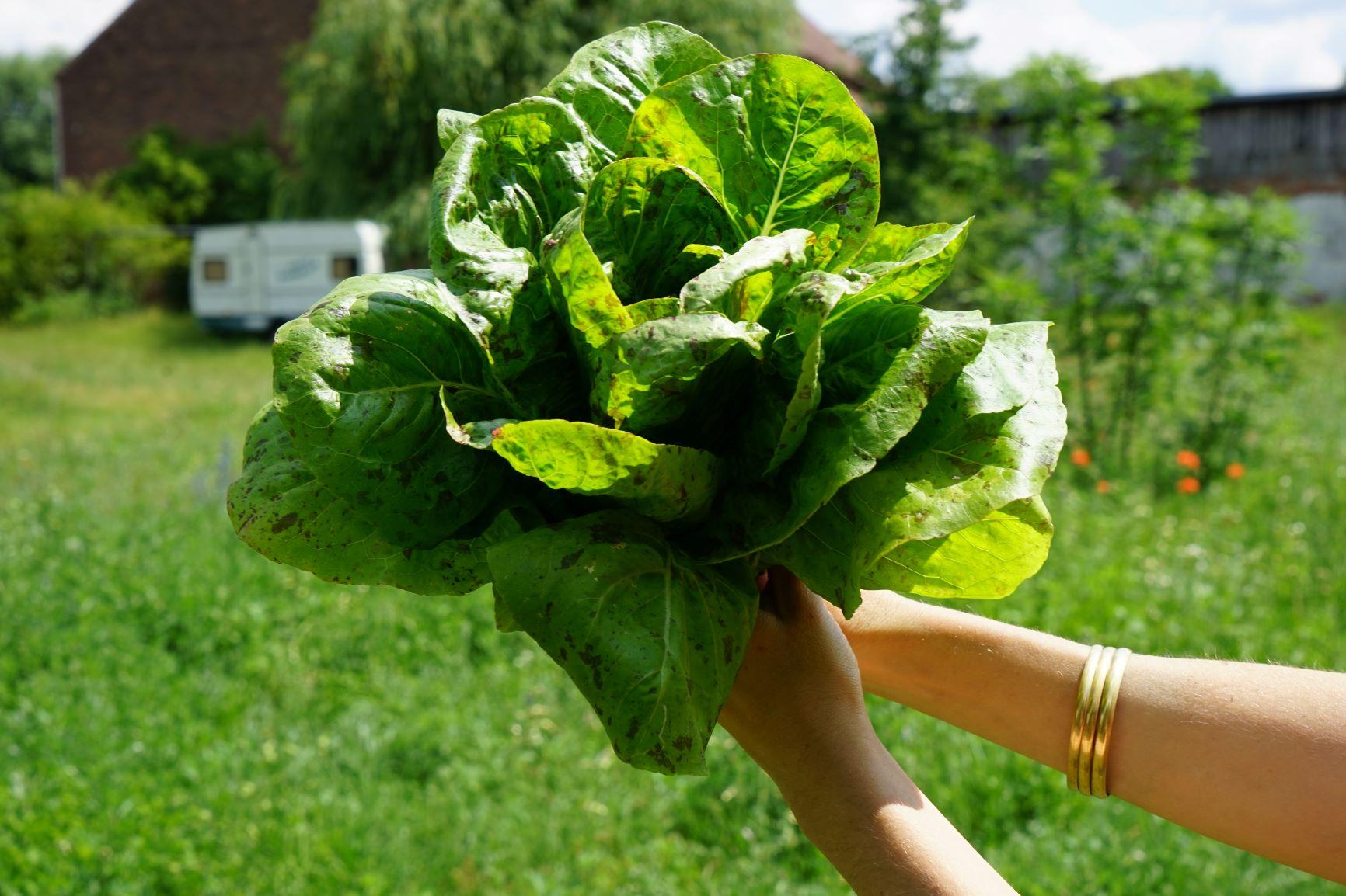 Salat - Schon einmal was von 'Forellenschluss' (Kopfsalat) oder 'Hohlblättrigem Butter' (Schnittsalat) gehört? Nein? Na dann ran ans Beet!