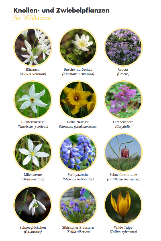 KnollenPflanzen für Wildbienen - 150311_bund_aktion_wildbienen_pflanzen_fuer_wildbienen_faltblatt pdf.png