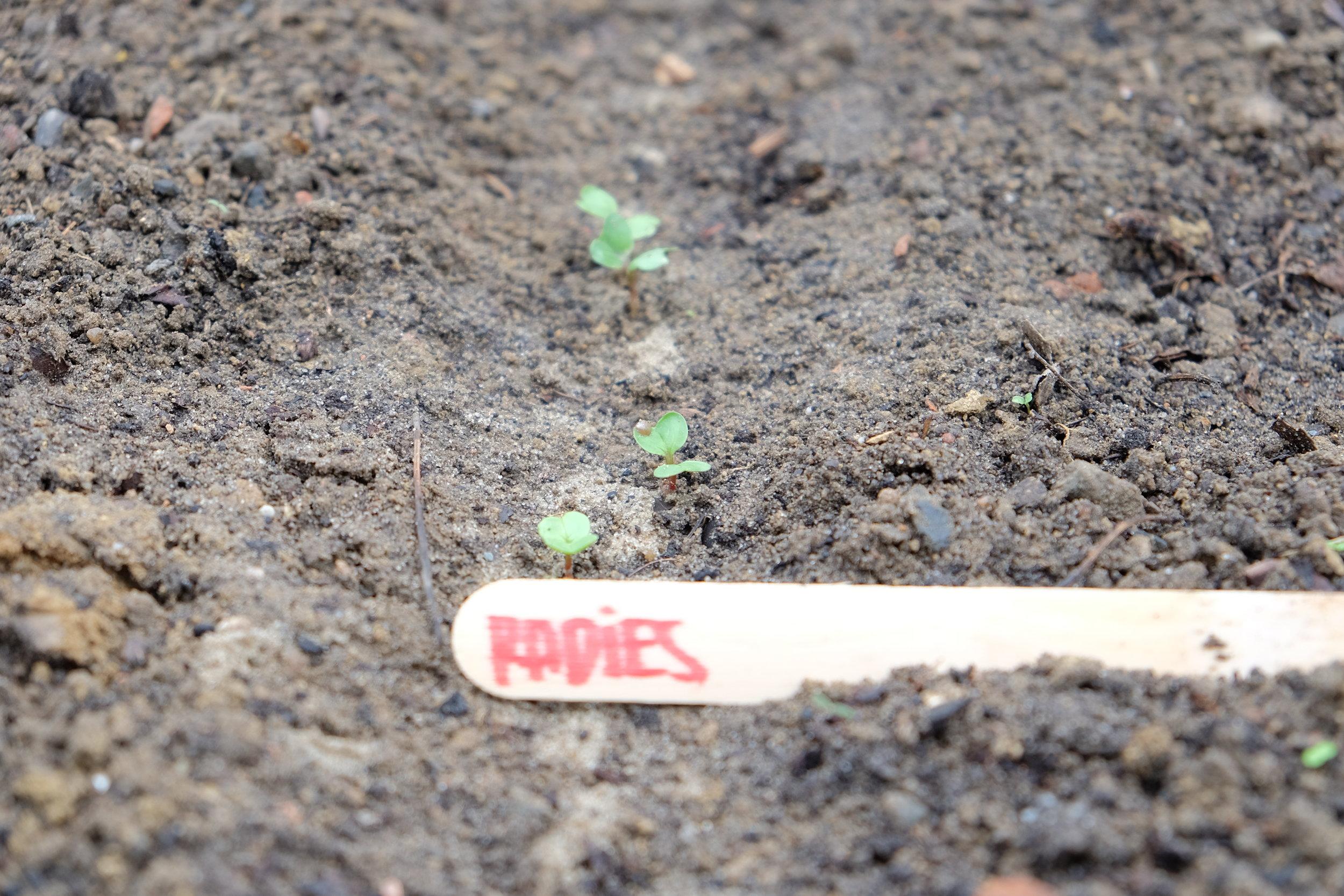 Radieschen - Lass' das Radieschen-Reihen in der ersten Woche ruhen. Erst wenn die ersten Keimlinge aufgehen, können kleine Unkrautpflanzen von Hand herausgezogen werden.