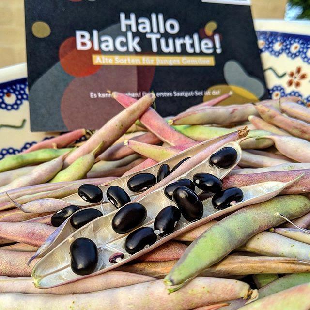 Wow, bei solchen Bildern sind wir echt sprachlos 😍 Die Black Turtles Lilo & @misterschtief haben uns dieses wunderschöne Foto ihrer Ernte geschickt. Habt ihr eure Bohnen auch schon geerntet? 🖤  #blackturtlemission #altesorten #blackturtle #gemüseanbau