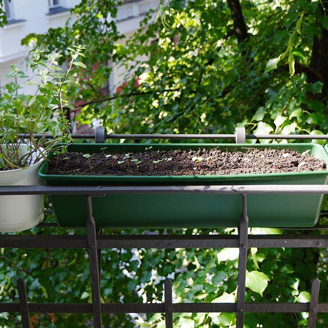 Wir freuen uns immer riesig über Bilder von eurem Gemüse - ganz gleich ob von der Ernte oder der frischen Aussaat. 😍 Hier präsentieren wir euch die wunderschönen Keimlinge auf dem Balkon von @kaethe_g 🖤🌱 #blackturtlemission #gemüseanbau #turtlesaufmbalkon #keimlinge