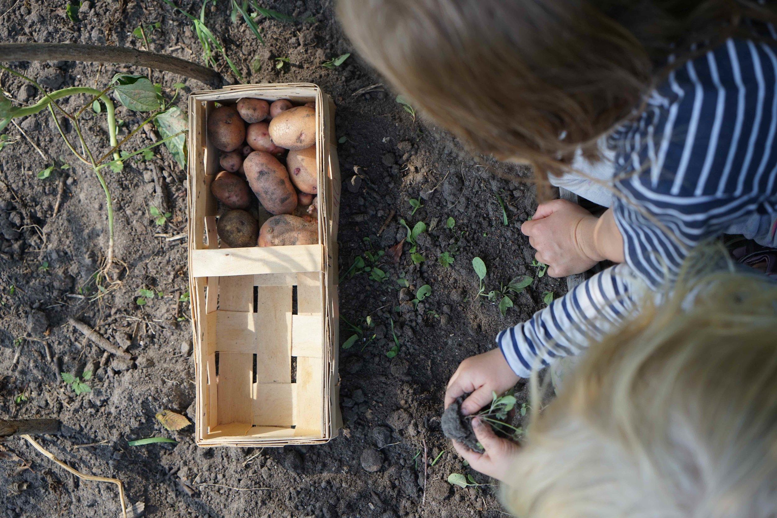 Hochbeet_Woche14_Kartoffelernte.JPG