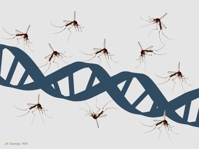 mosquito dna.jpg