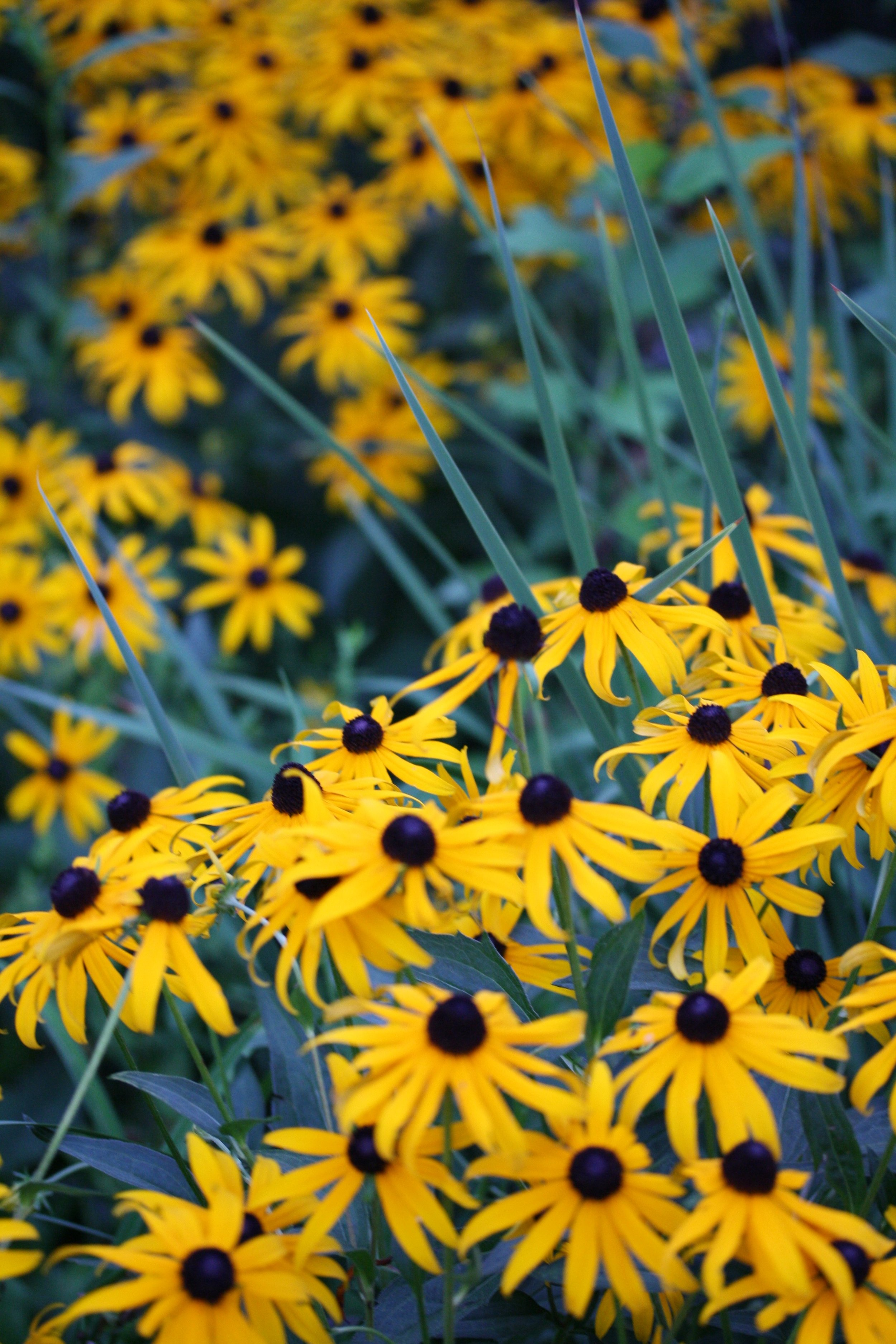 black-eyed-susans-4059753.jpg