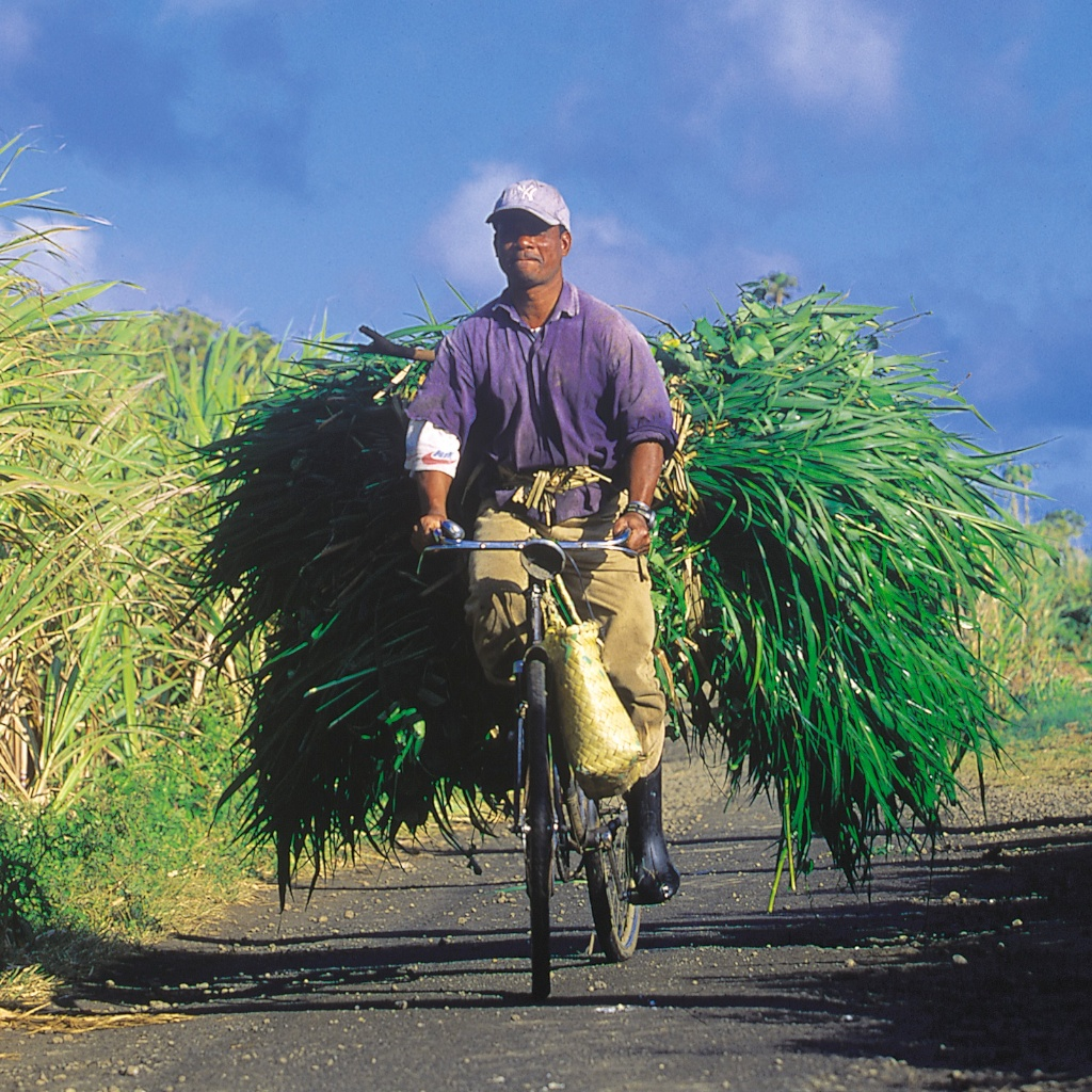 Cane_Harvest_Bicycle.jpg