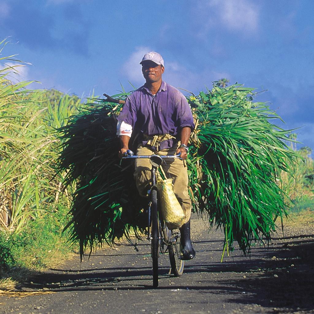Cane_Harvest_Bicycle.jpg