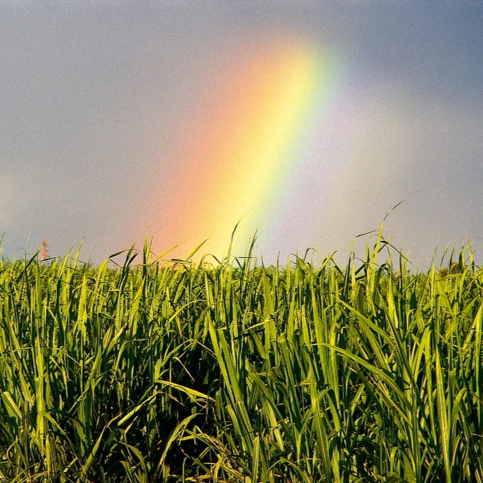 CaneFields_Rainbow.jpg