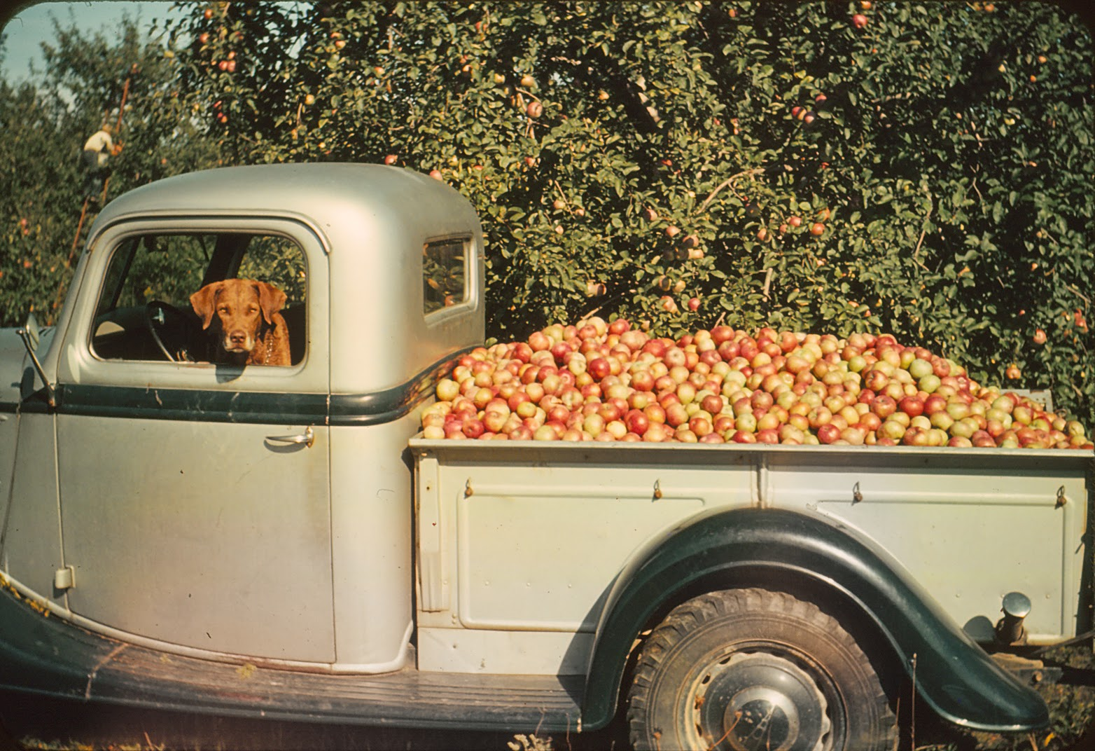 Culling Macintoshes, September 1939, Photograph by John Losee.