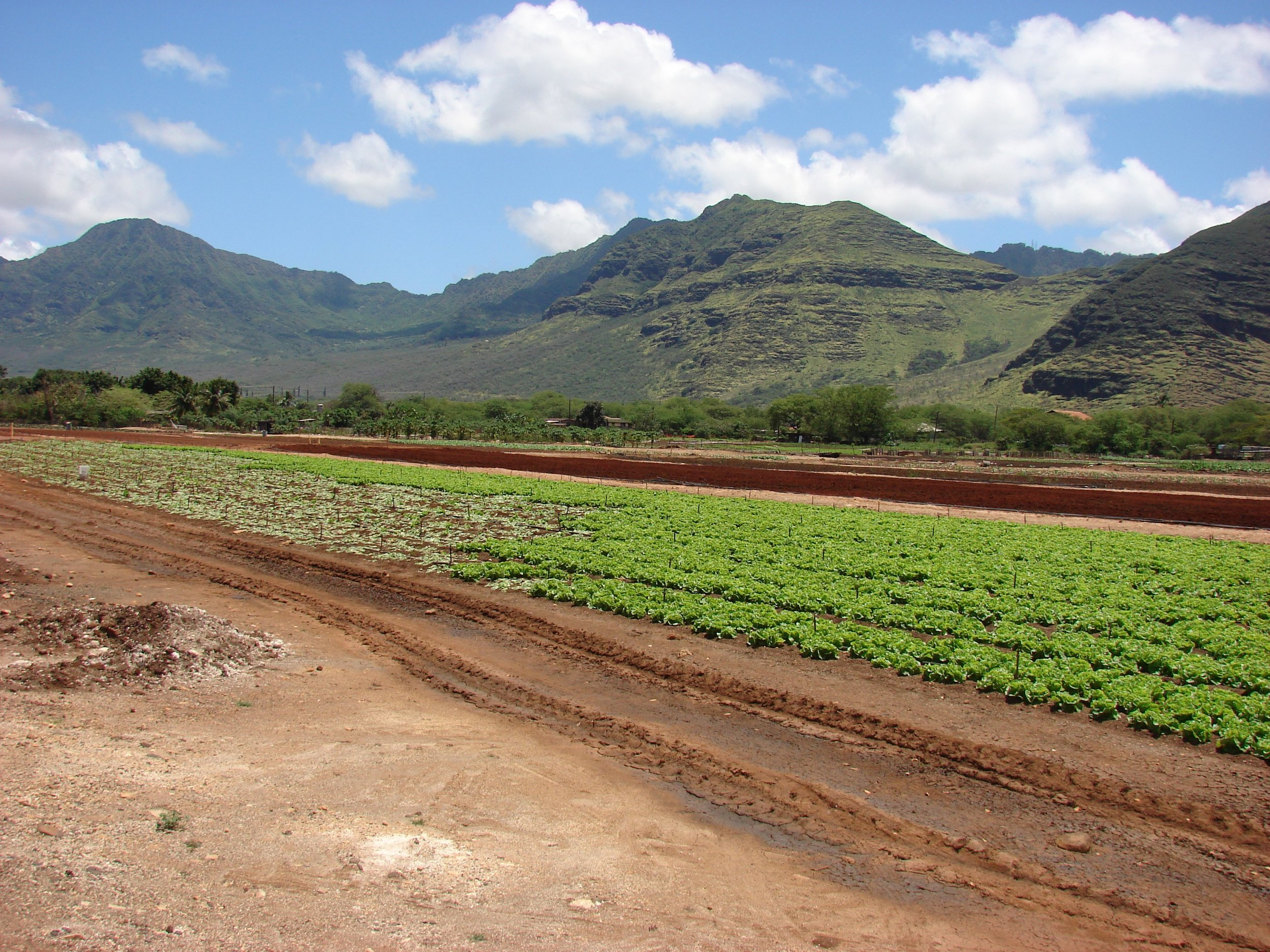 Harvesting Manoa lettuce from field known to have high incidence of Fusarium wilt.   Nanakuli, Hawaii  (Island of Oahu)