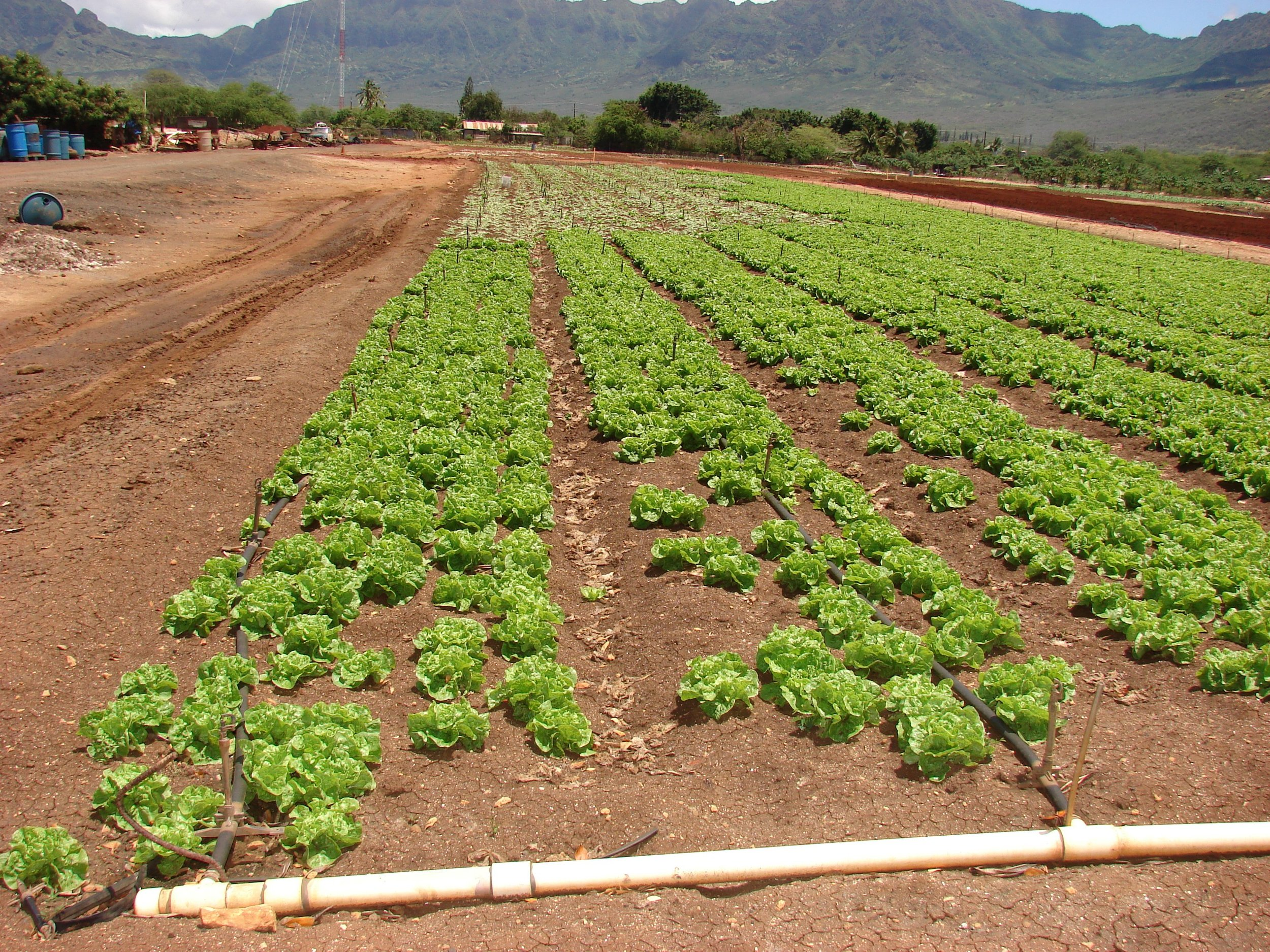 Another view of the Manoa lettuce field showing some empty spaces where lettuce did not mature due to Fusarium wilt damage.
