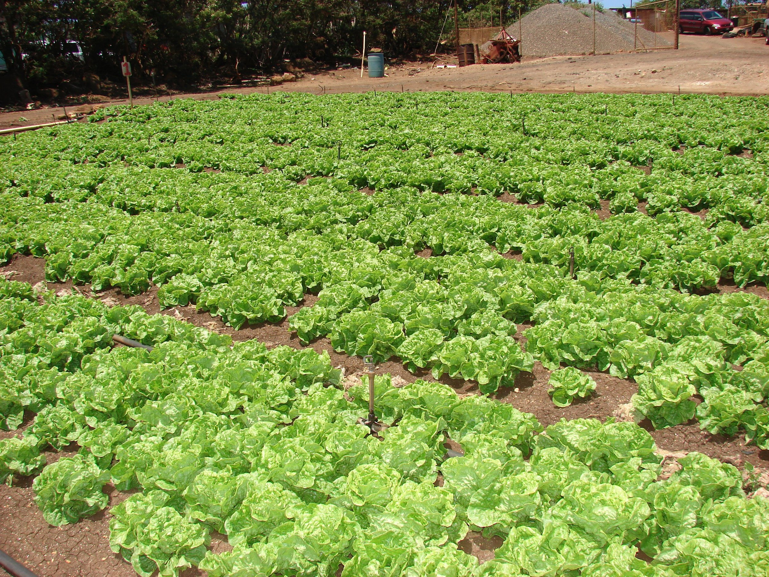 Another view of Manoa lettuce ready to harvest from the Fusarium wilt infected field.