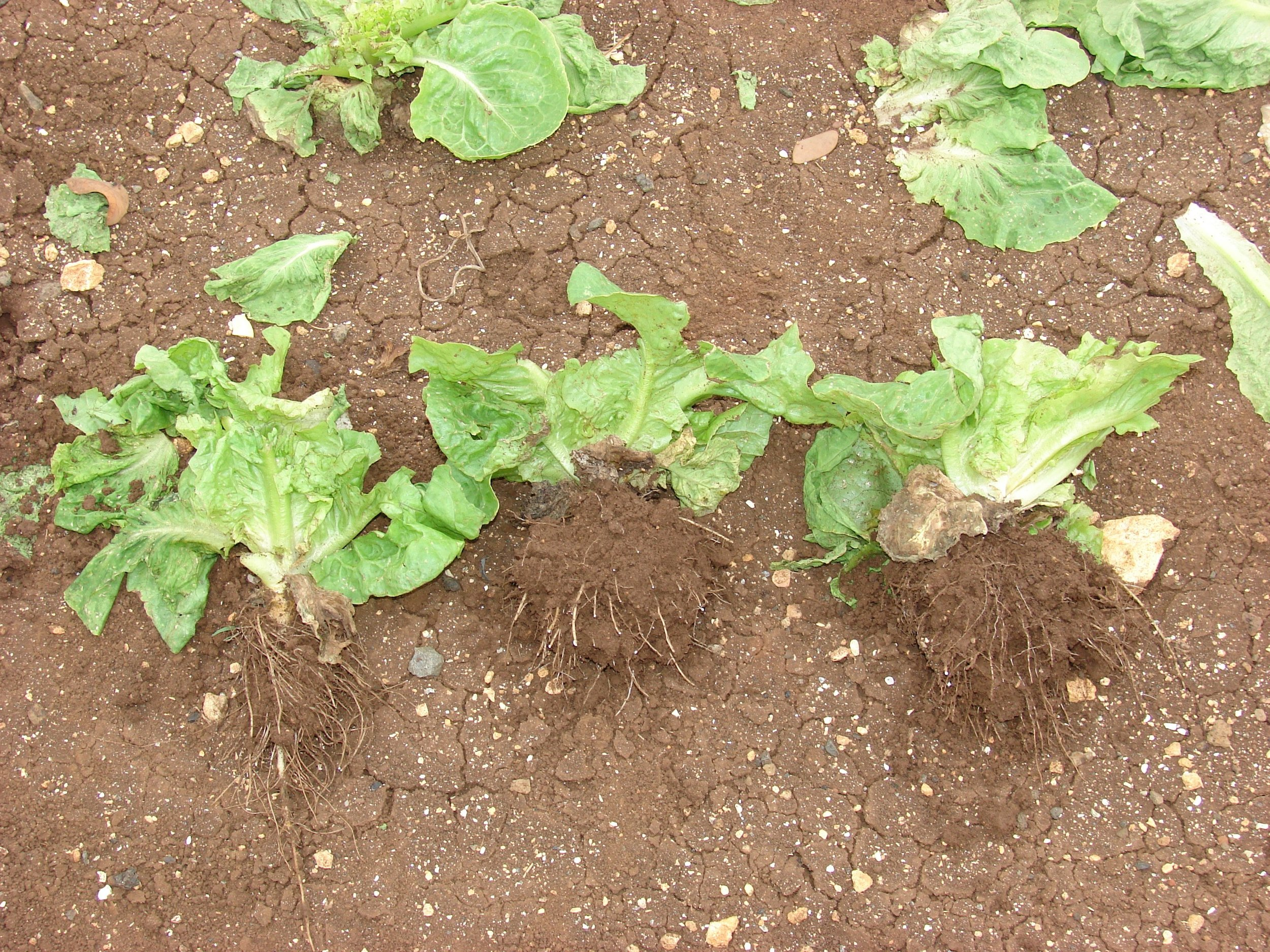 Manoa lettuce after harvest. Showing signs of initial Fusarium wilt damage but plant recovered to harvest. Nice healthy roots.