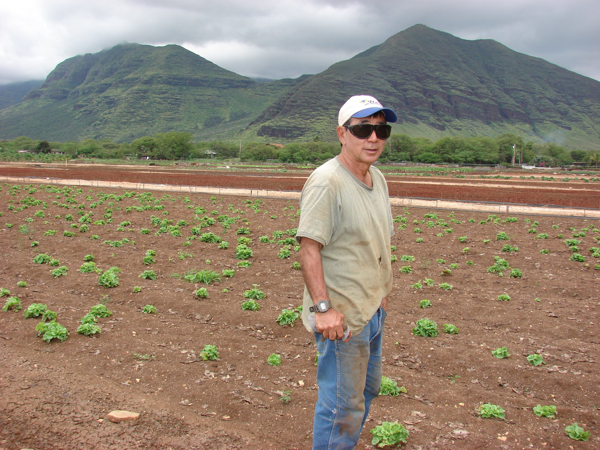 Owen Kaneshiro , 3rd generation Okinawan farmer. Manoa lettuce that were too small at harvest are still growing in field known to have Fusarium wilt.