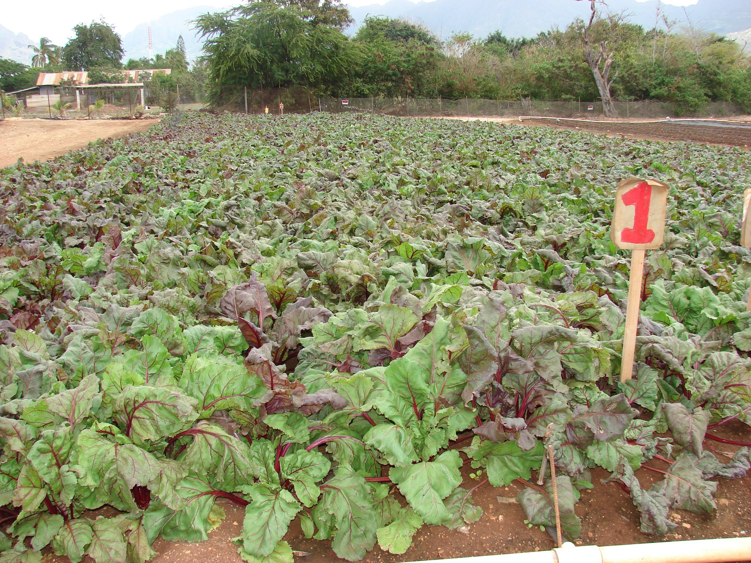 Here are just a few examples that we wanted to share. This is a field of Beets that will be ready to harvest soon.