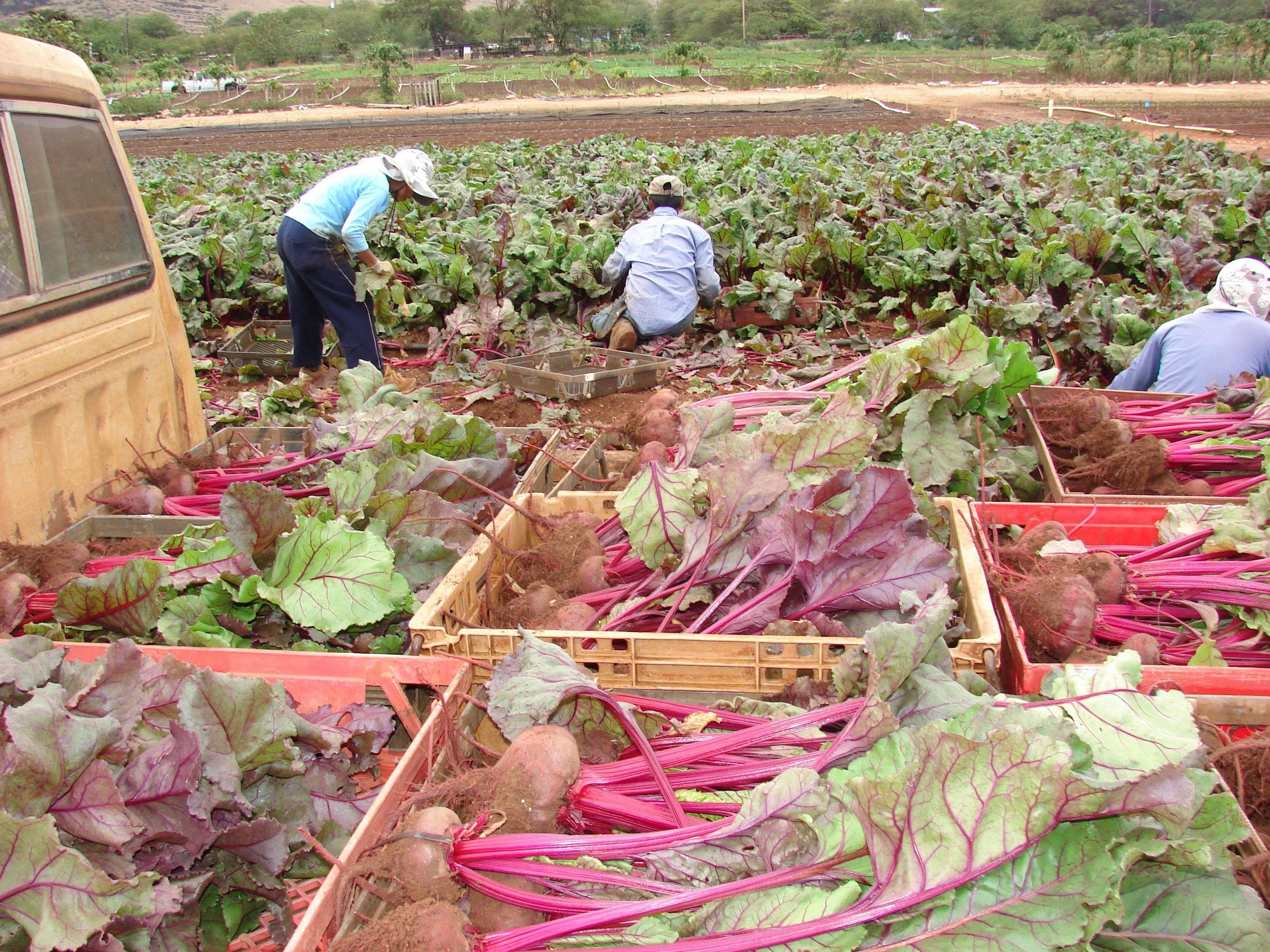 Beets that are harvested by his workers are loaded onto trucks from the farm. It is then taken to be washed, sorted and packed for later distribution to local supermarkets.