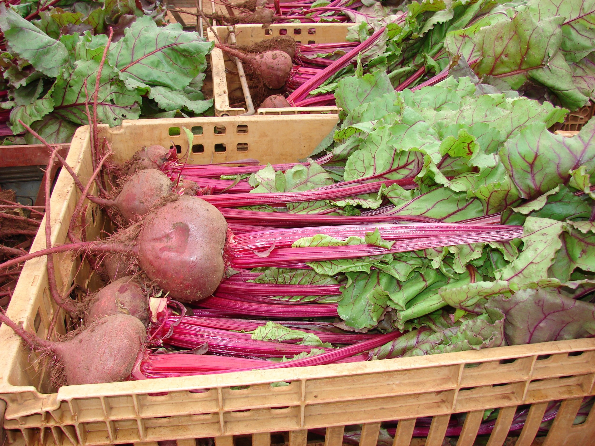 Here is a close up of freshly harvested Beets grown with weekly applications of EM•1®.