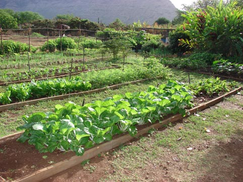 Various green vegetables growing in raised beds watered with EM®