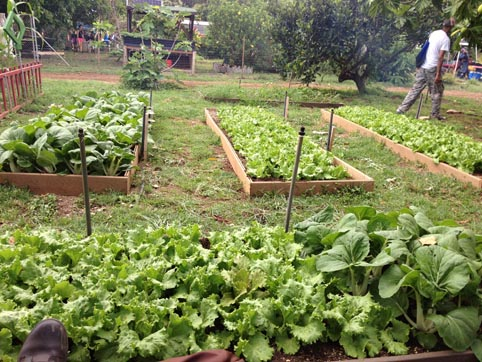 Healthy vegetables growing in raised garden beds.