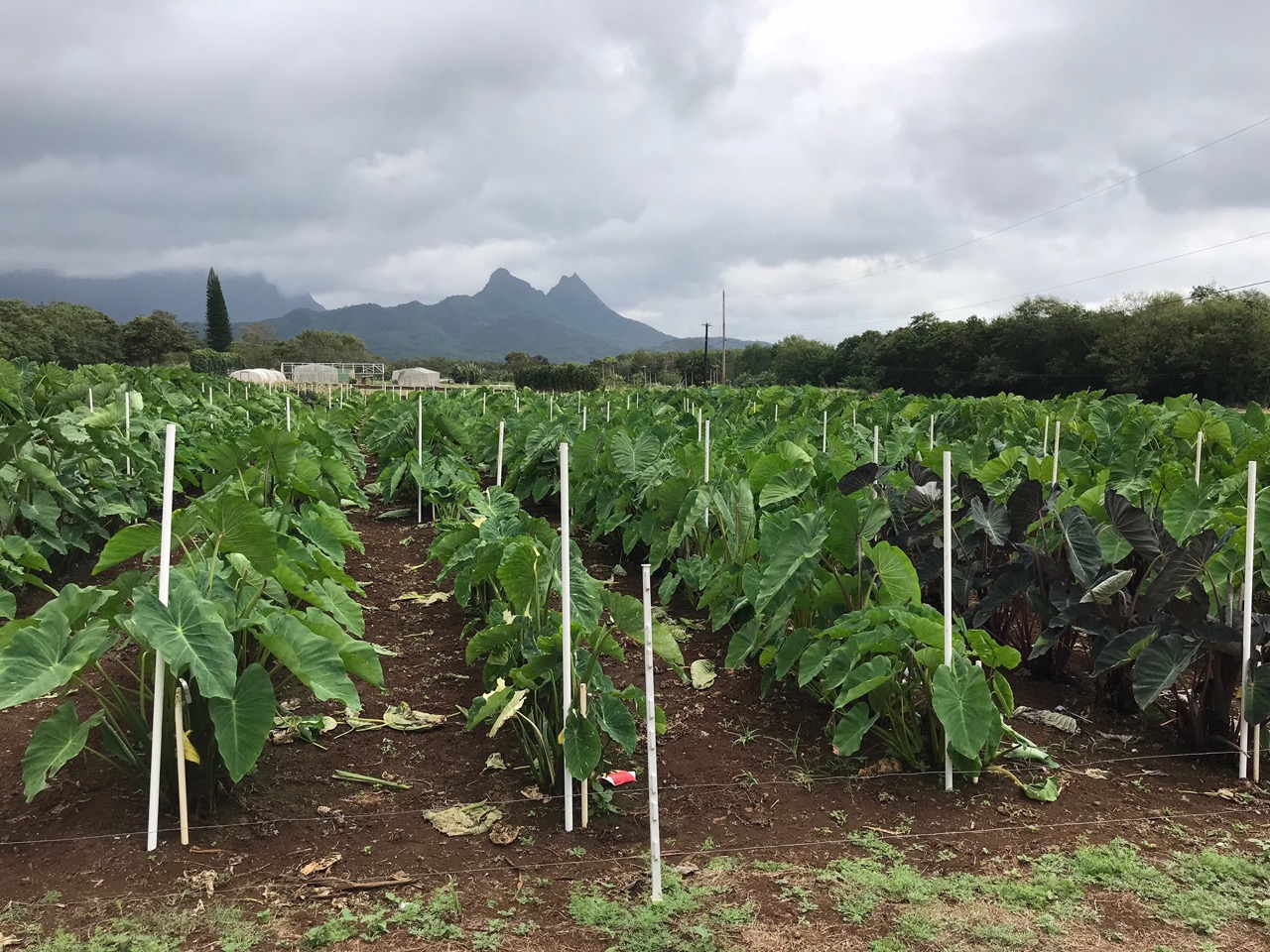 Photo: University of Hawaii Taro Germ plasm collection after heavy pruning and EM•1®drip irrigation application prior to March 2018 Taro Field Day event.