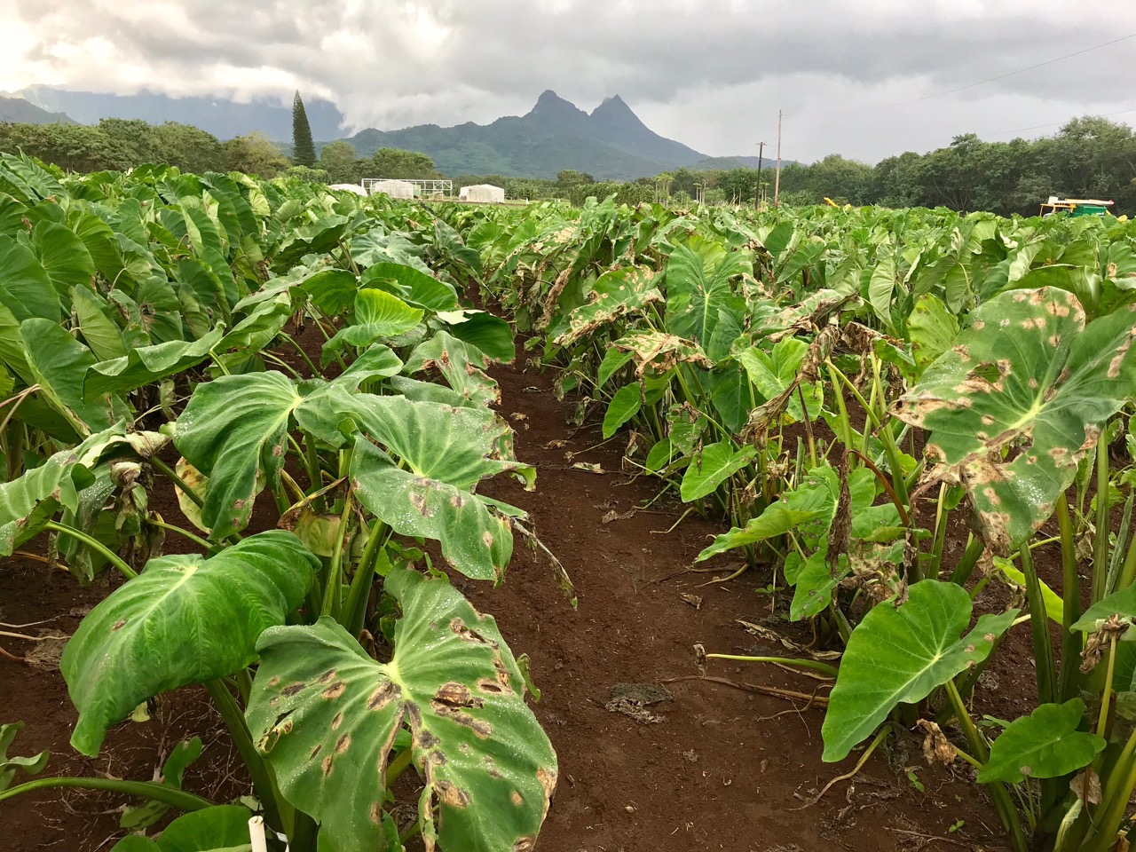 Photo: University of Hawaii Taro Germ plasm collection 2 weeks before March 2018 Taro Field Day event. (photo credit: Jari S. ext. agent).