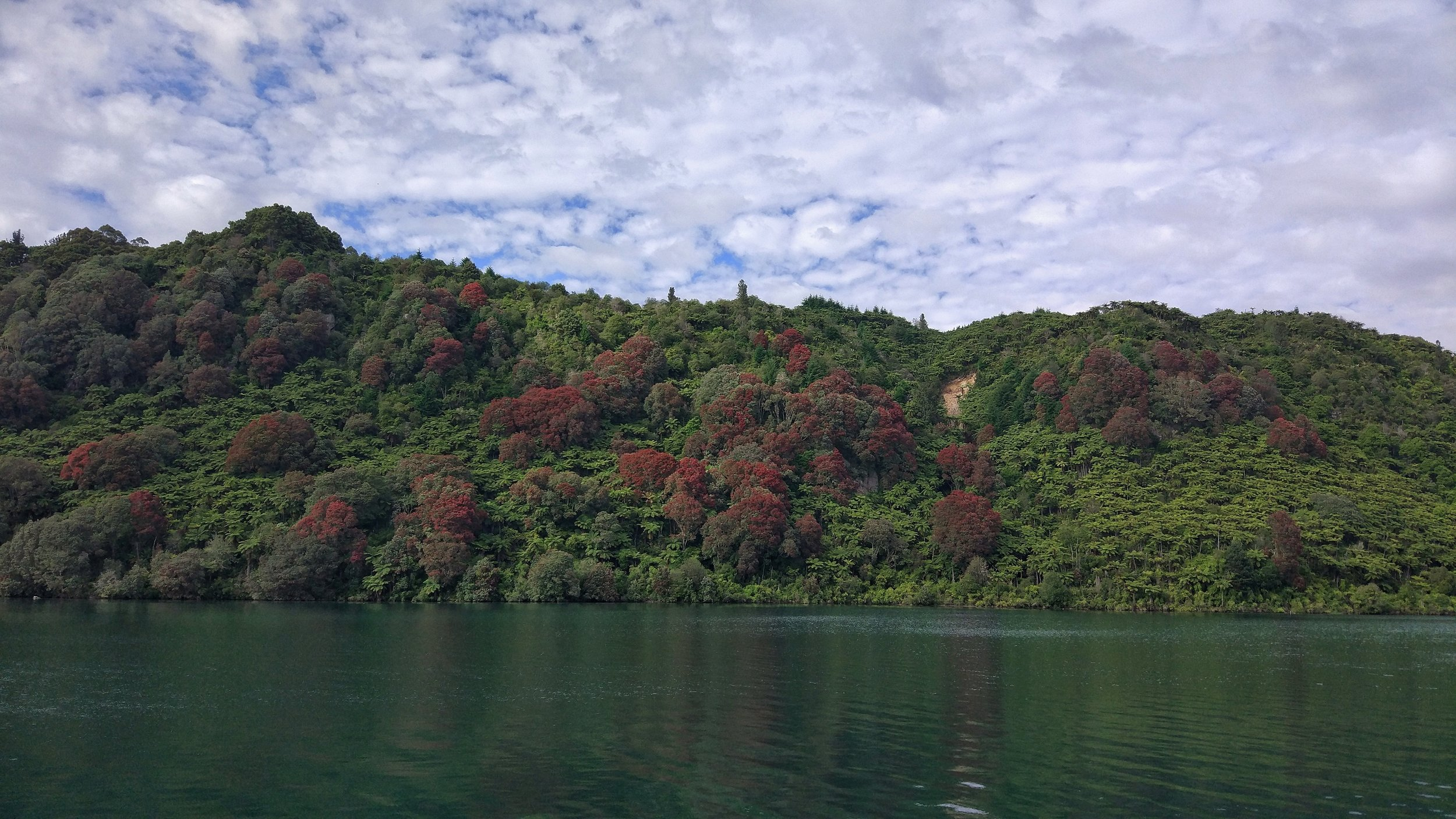 Blooming pohutukawa trees and fern…very new zealand landscape