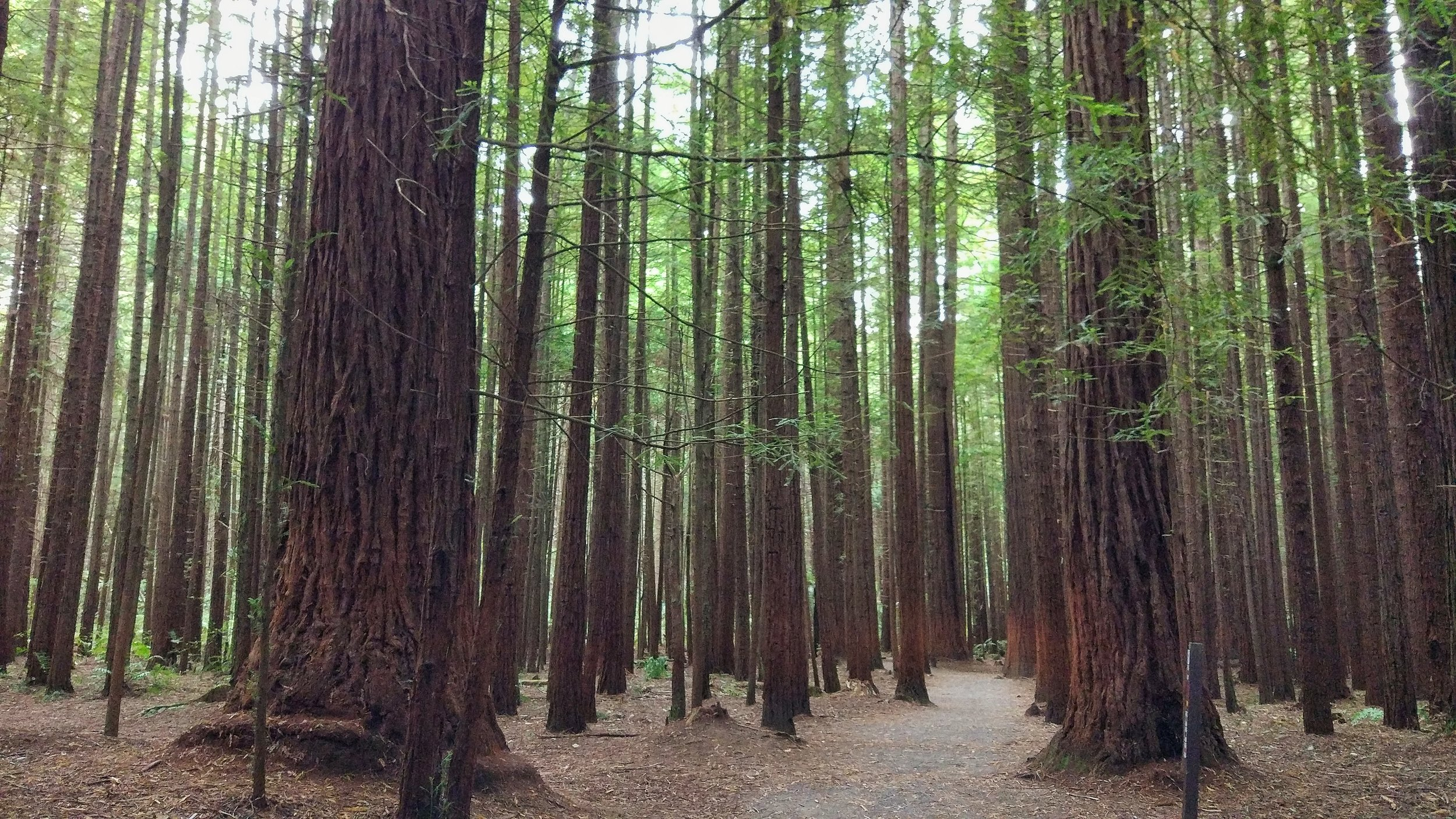 in the rotorua redwoods forest, new zealand