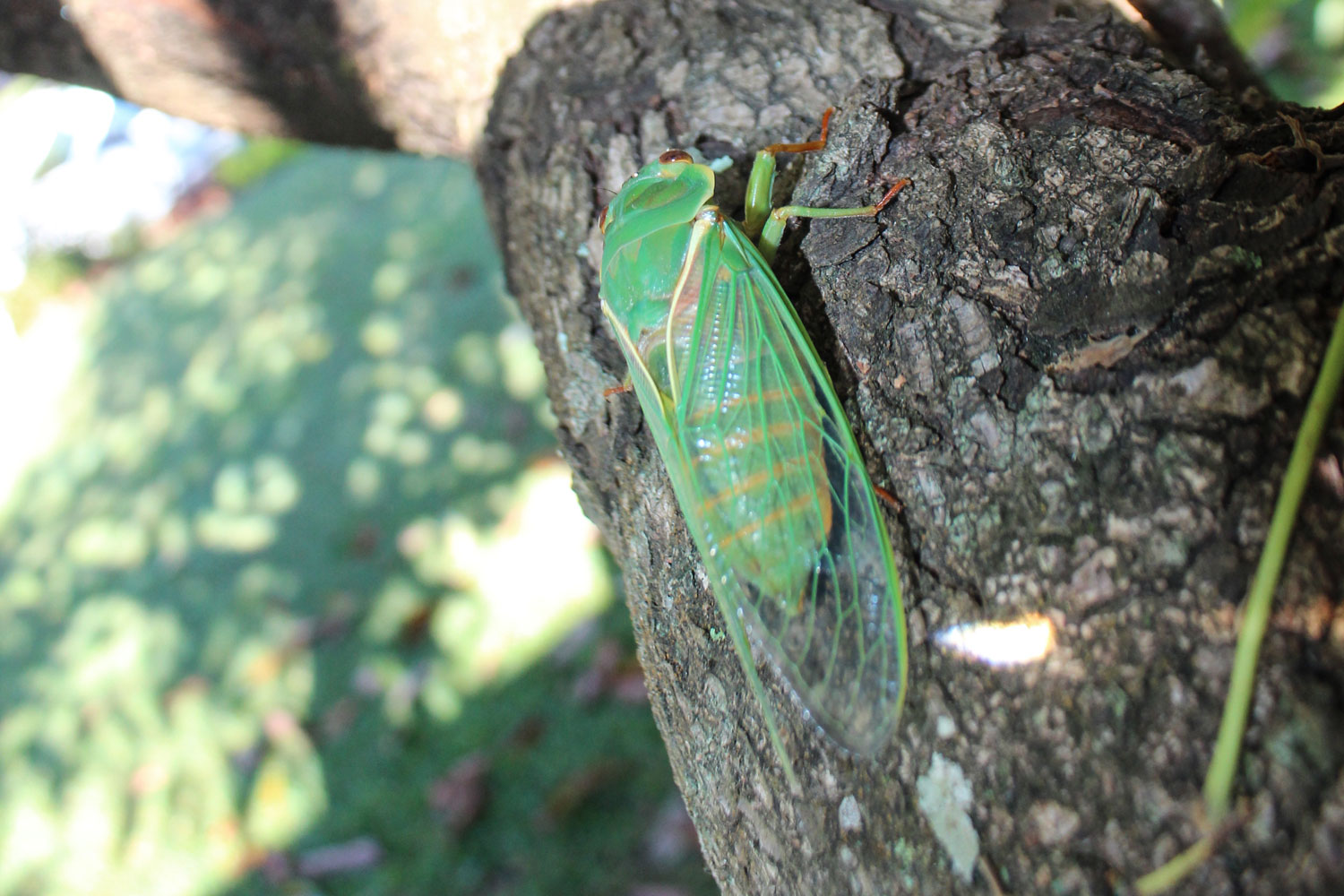 Green-cicada-on-tree.jpg