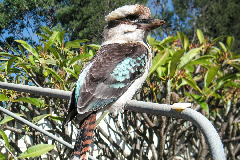 Kookaburra-on-clothsline.jpg