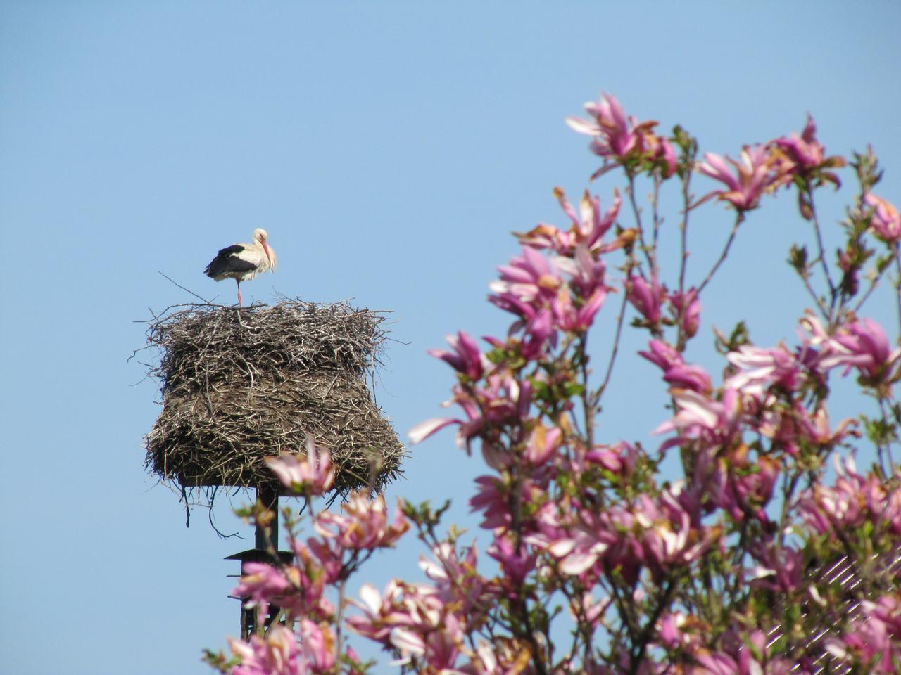 Stork and magnolia.jpg