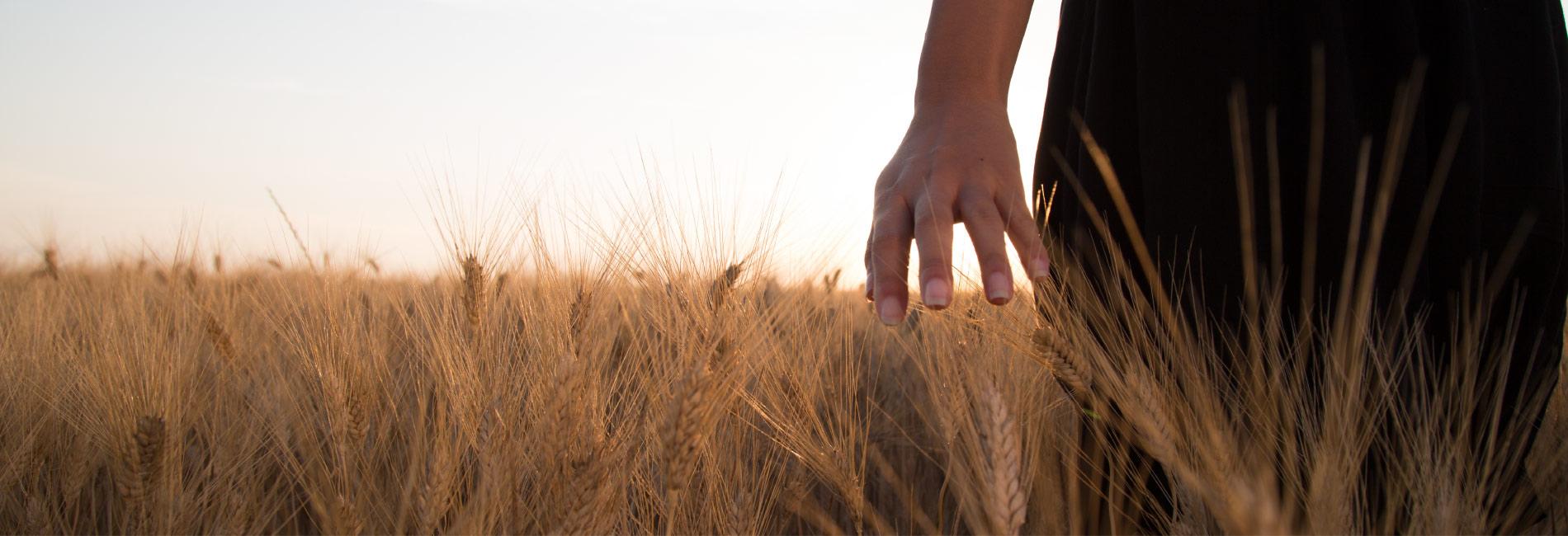 Tipico campo di grano di Erranze Marchigiane