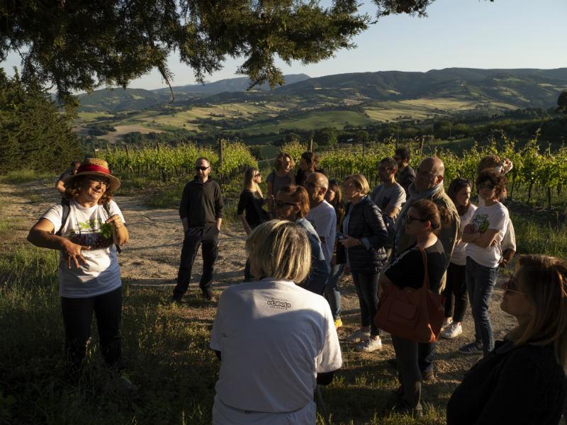 passeggiata alla ricerca di erbe spontanee e alla scoperta della vigna di biancone bianchello del metauro sangiovese e Montepulciano