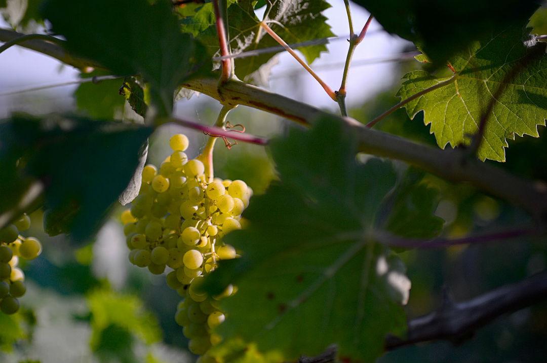 un grappolo di albanella nella vigna del Boncio dove viene vinificato il consiglia colli pesaresi doc