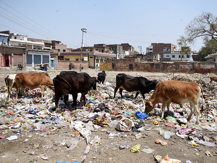 cows-in-wastepickerland.jpg