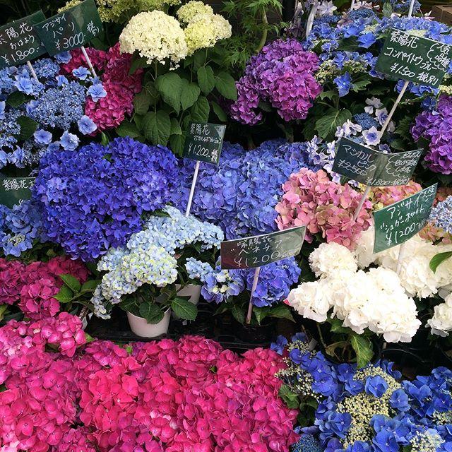 The deep colour of these hydrangeas is stunning! この紫陽花の濃い色は素敵でしょう〜  翻訳のプロジェクトがあれば、ご相談しましょう! ⠀⠀⠀⠀⠀⠀⠀⠀⠀⠀⠀⠀ ⠀⠀⠀⠀⠀⠀⠀⠀⠀⠀⠀⠀ ⠀⠀⠀⠀⠀⠀⠀⠀⠀⠀⠀⠀ ⠀ ⠀⠀⠀⠀⠀⠀⠀⠀⠀⠀⠀⠀ ⠀⠀⠀⠀⠀⠀⠀⠀⠀⠀⠀⠀ ⠀⠀⠀⠀⠀⠀⠀⠀⠀⠀⠀⠀ ⠀ #紫陽花 #梅雨 #6月 #自然 #花 #濃い色 #綺麗 #素敵 #翻訳 #翻訳家 #英訳 #フリーランス#hydrangea #flowershop #japan #rainyseason☔️ #June #nature #flowers #deepcolours #beautiful #stunning #nofilter #freelance #translation #translator #japanese #japanesetranslator #japanesetranslation