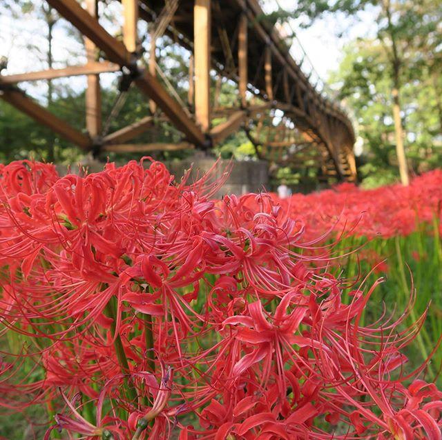 日高市の巾着田曼珠沙華まつりは今週の日曜日に終わります‼︎ 埼玉県で色々な美しいところがありますね😍自然より良いことがないと思います 。 🌺  The red spider lily festival in Hidaka, Saitama, will come to an end this Sunday. There are so many beautiful places in Saitama 😍 there's nothing better than nature . 🌺 #日本 #埼玉 #日本観光 #自然 #花畑 #曼珠沙華 #曼珠沙華まつり #赤花 #翻訳 #英訳 #フリーランス #翻訳家 #japan #saitama #japantourism #nature #flowerfield #spiderlily #redflowers #translation #japanesetranslation #japanesetranslator #freelancetranslator