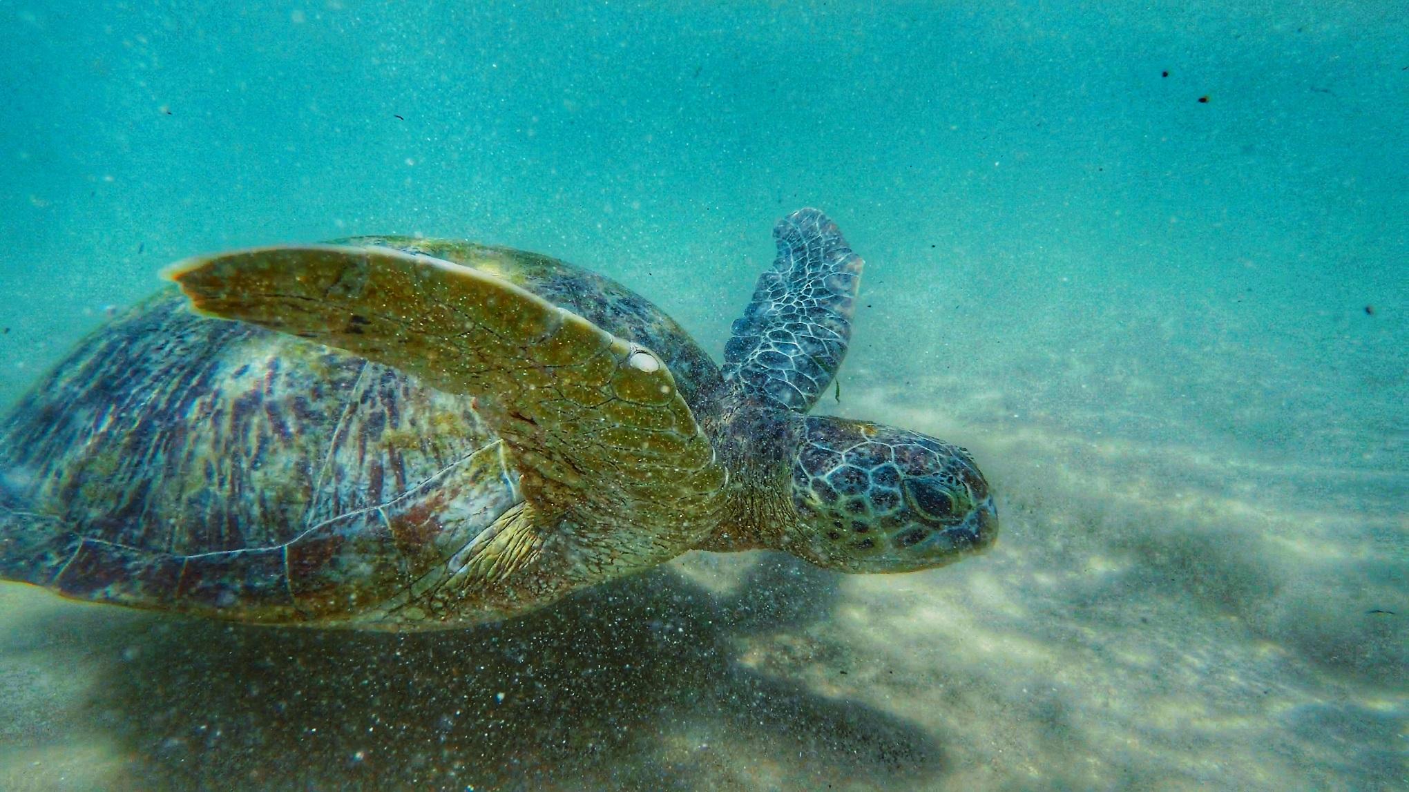 Sri Lanka Sea Turtles.JPG