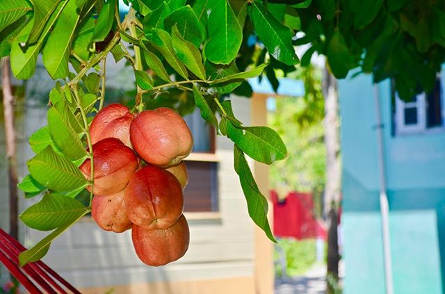 Do you know what type of fruit this is? This fruit was imported to Jamaica from West Africa before 1778. Since then, it has become a major feature of various Caribbean cuisines! 😋🥘🍛 #Fruit . #CoralCottageJamaica 🌴🌊☀️ . . . . . . . . . .  #Jamaica #Travel #Vacation #VacationHome #Tourism #Explore #WanderLust #TravelBug #TravelTips #TravelJamaica #Paradise #Luxury #Passport #Getaway #PhotoOfTheDay #TravelDeeper #RoundTheWorld #BestInTravel #Tropical #Caribbean #OneLove #Jamaican #GoodVibes #SpringBreak #Retreat #FunInTheSun #Negril