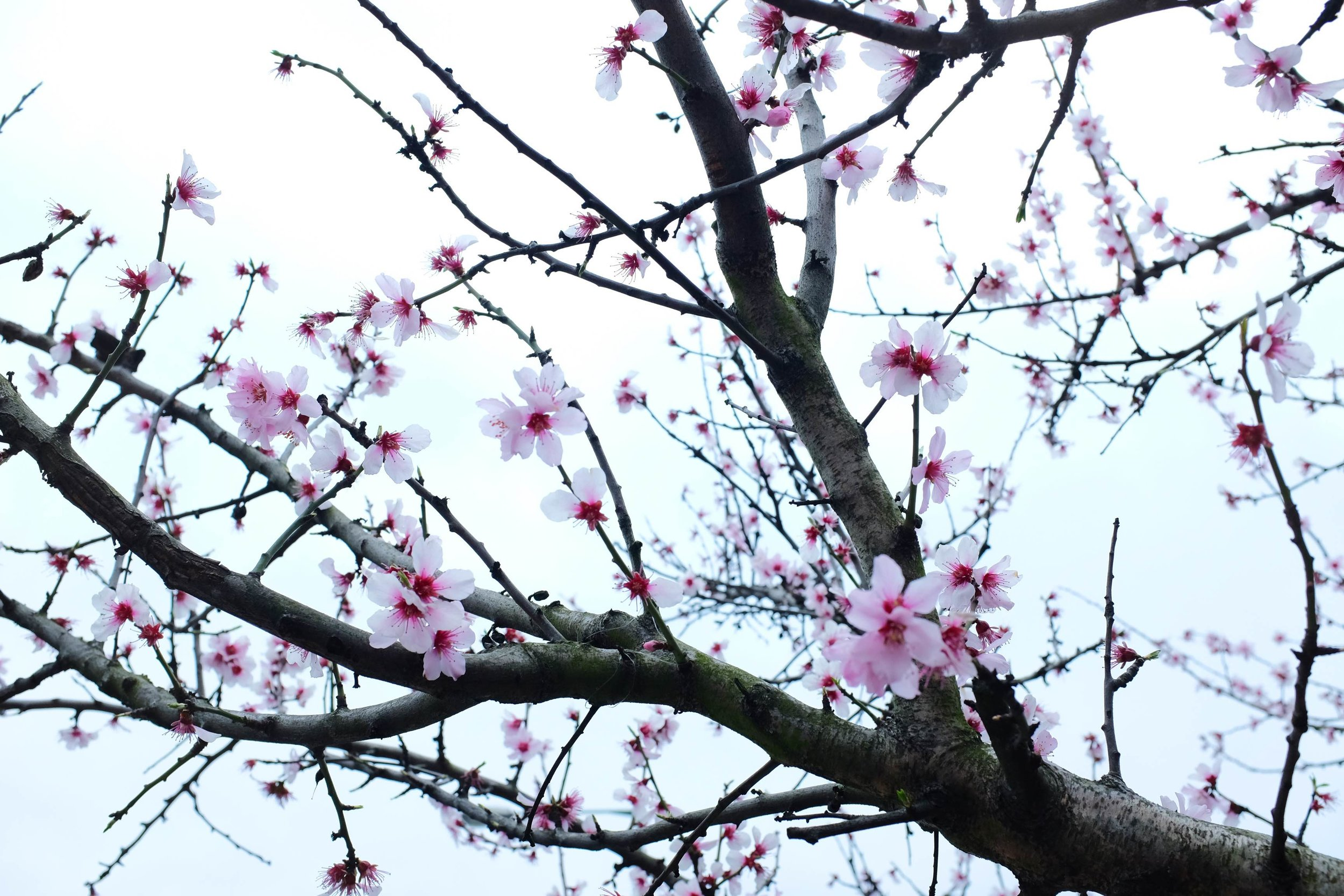 cherry blossom london