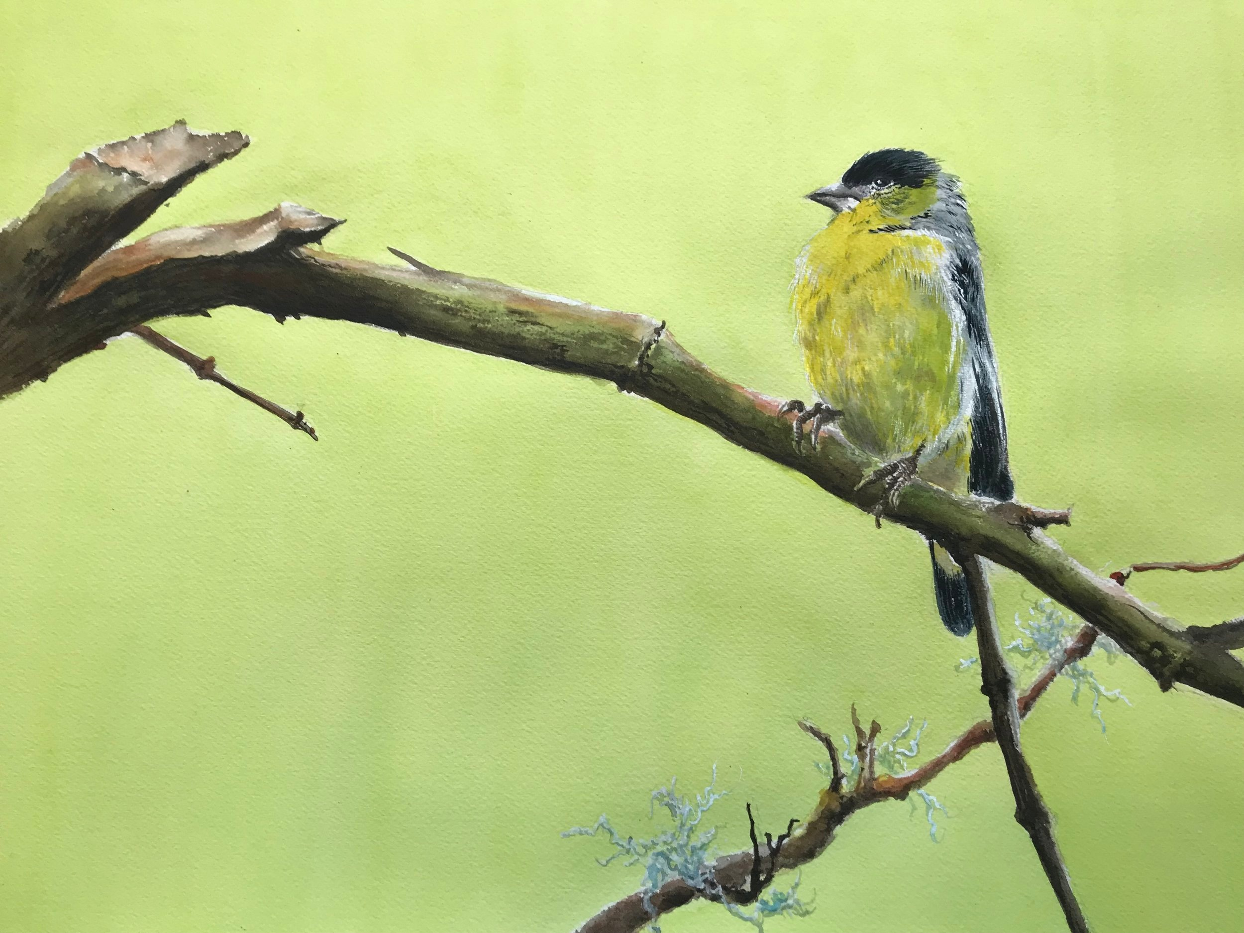 Lesser Finch   More Info →