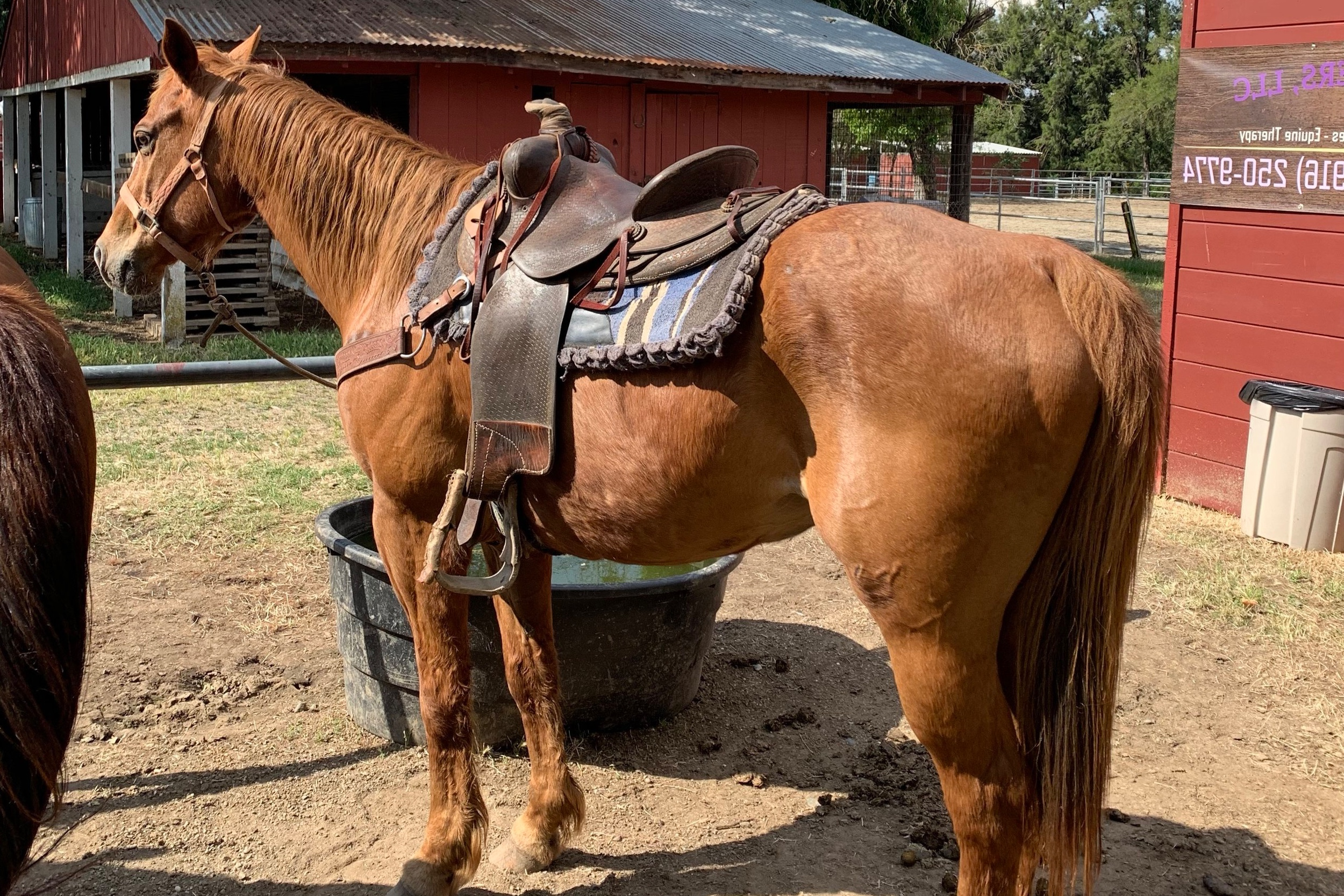 Quincy - Quincy is a sweet boy, very sensitive and needs his riders to be soft and loving. he is a talented horse with a great deal of training! an amazing horse for a confident yet soft handed rider. like all of our horses, he loves to be groomed.