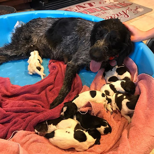 A birthday surprise with 9 pups to join the Blackfeet Outfitters bird hunting crew. #birdhunting #birdhuntingdog #birdhunter #uplandbirdhunting #birdhuntingseason