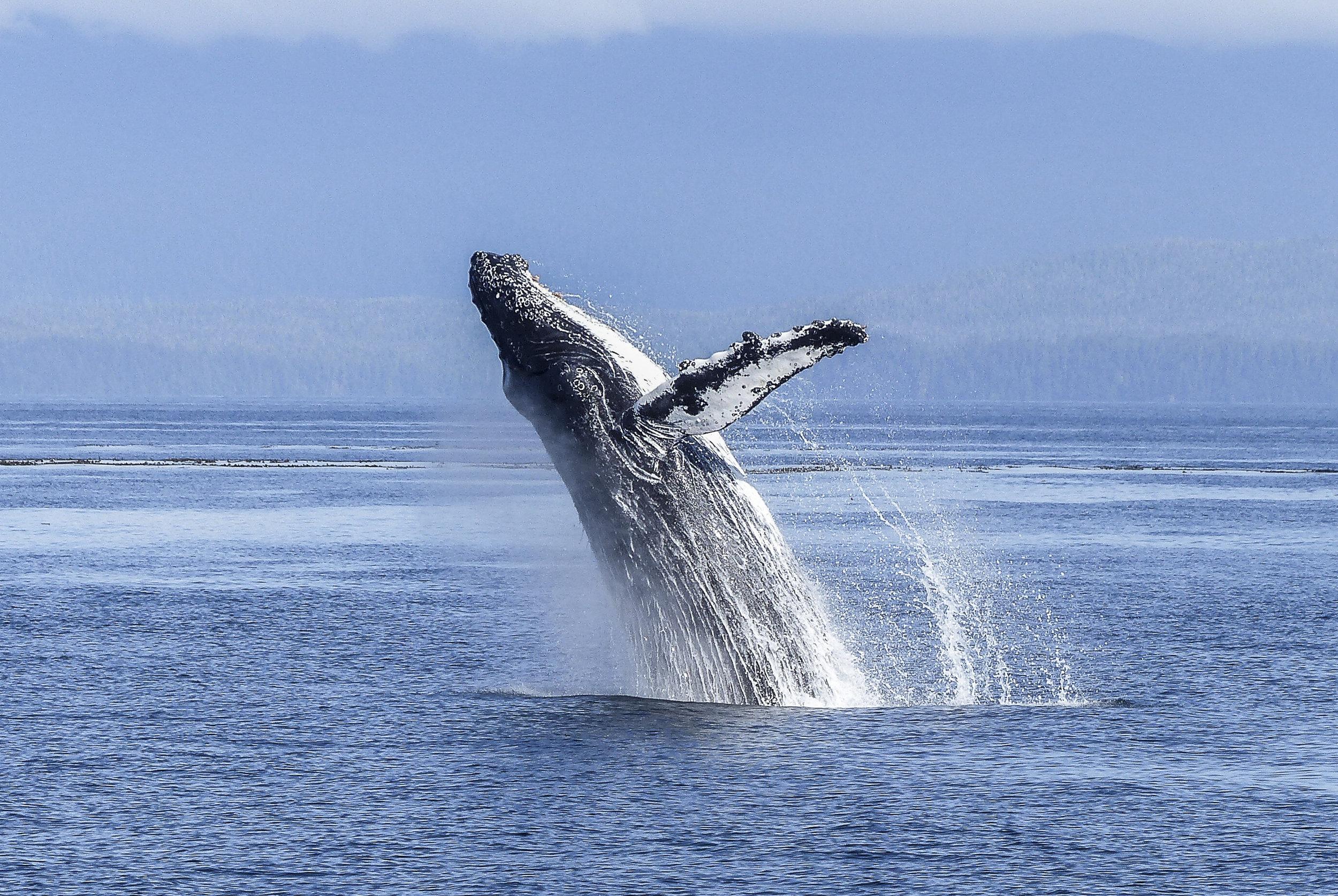 Whale_img2.jpg