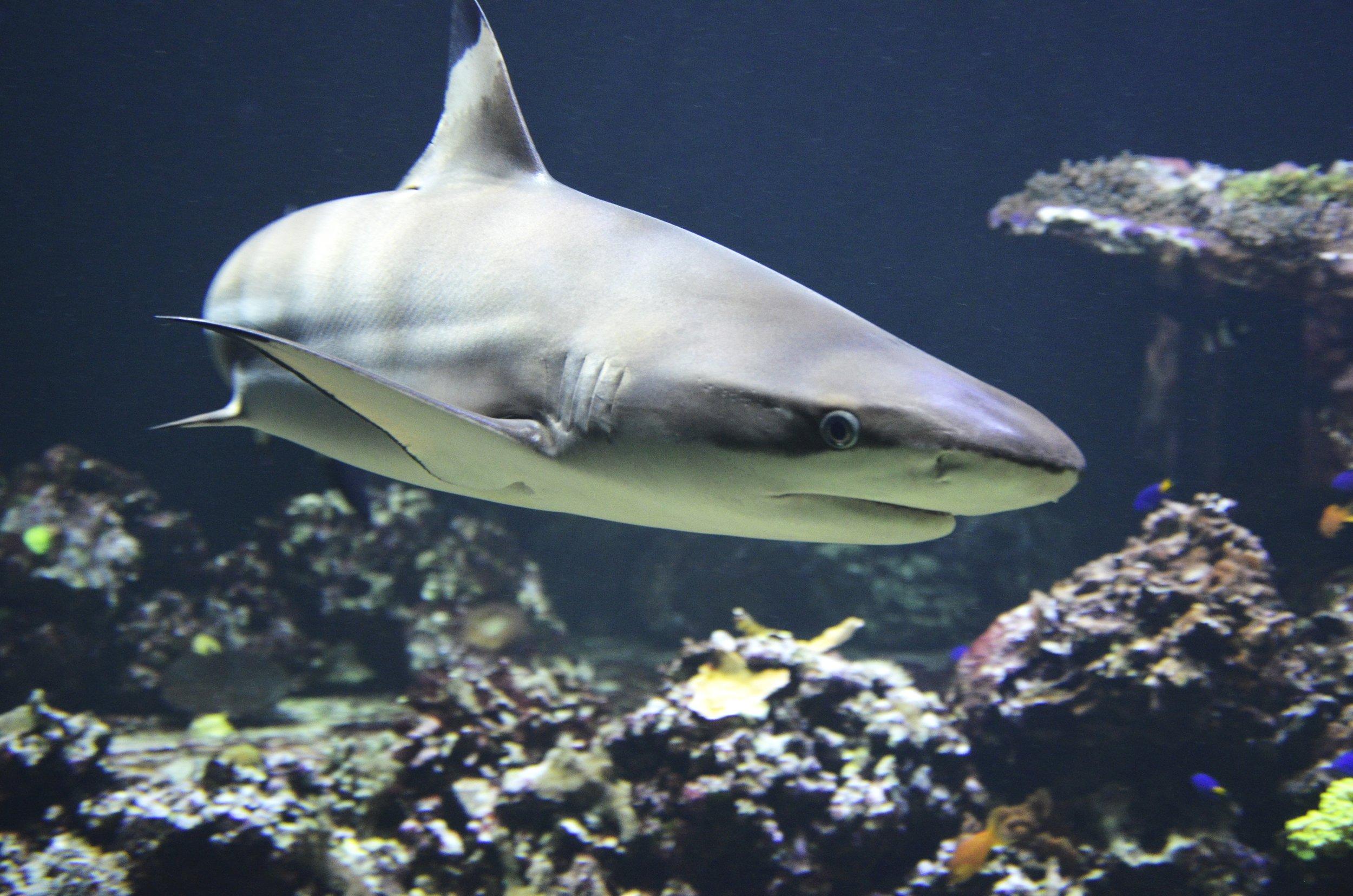 Shark_Img1.jpg