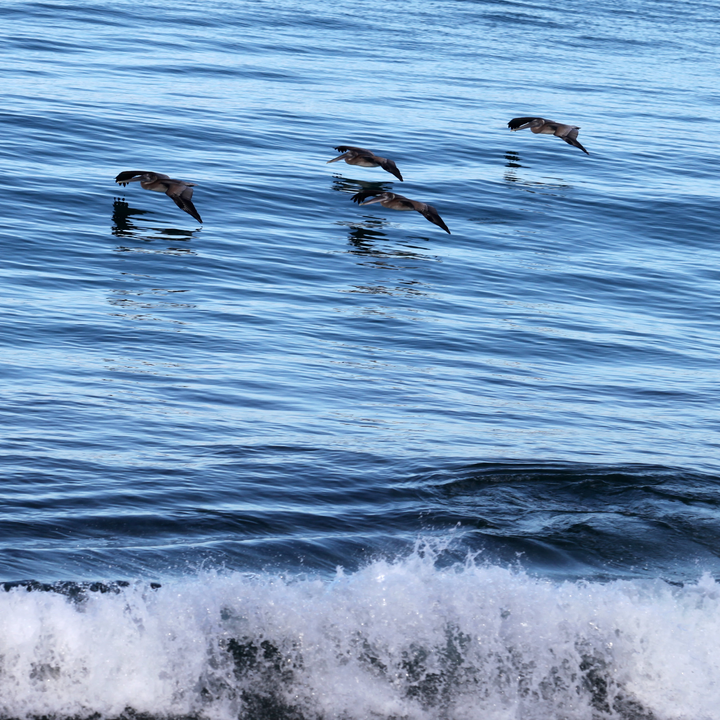 Brown Pelicans cruising the waters for Italian sardines in front of the Coconut Palms Inn