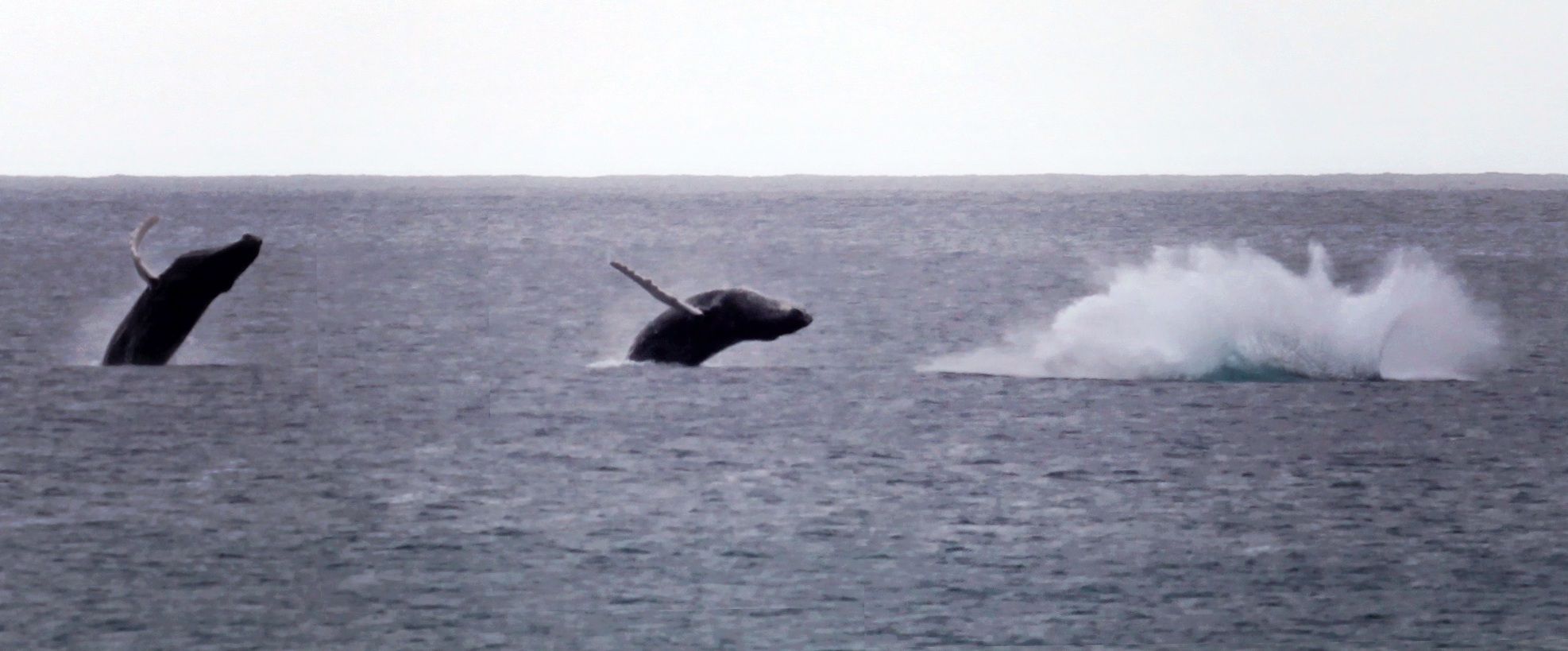 Humpback Whales breaching in front of the Coconut Palms Inn